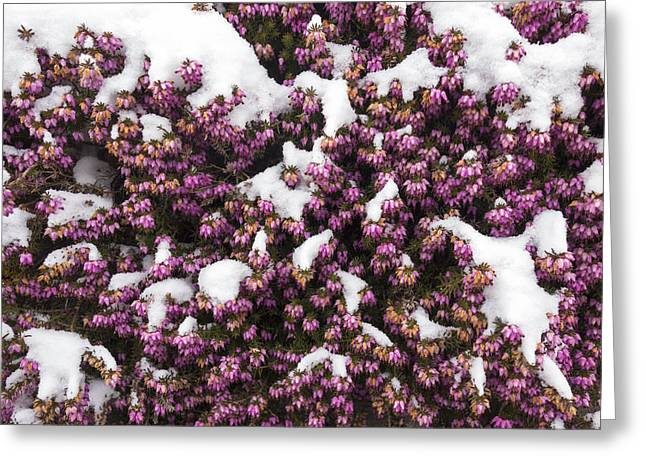 Carnea Greeting Cards - Winter flowering heather Erica carnea in spring covered with snow Greeting Card by Matthias Hauser