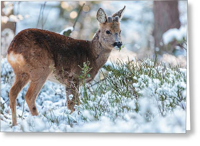 Gelderland Greeting Cards - Winter Forest Wildlife Greeting Card by Martin Bergsma