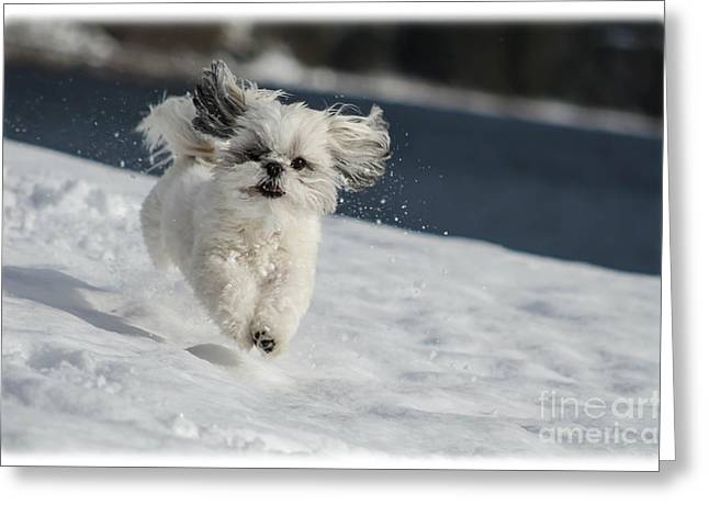 Dogs In Snow. Greeting Cards - Winter Fun Greeting Card by Joy McAdams