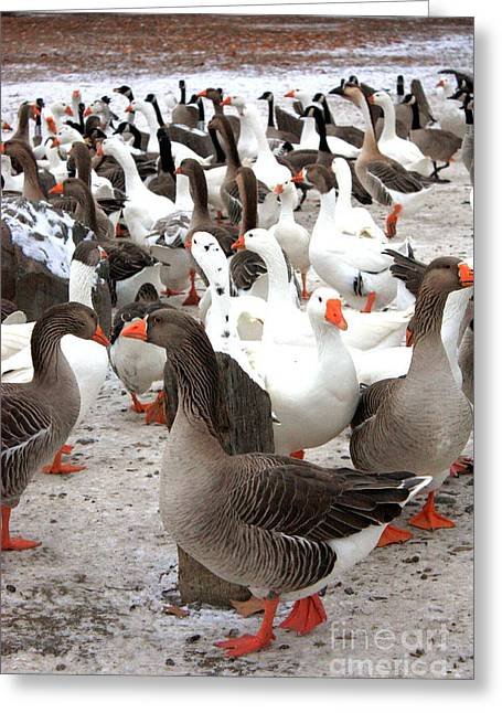 Birds In Winters Greeting Cards - Winter Geese in Columbia Park Greeting Card by Carol Groenen