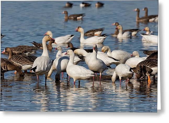 Winter Migrants Greeting Cards - Winter Geese Greeting Card by Kathleen Bishop