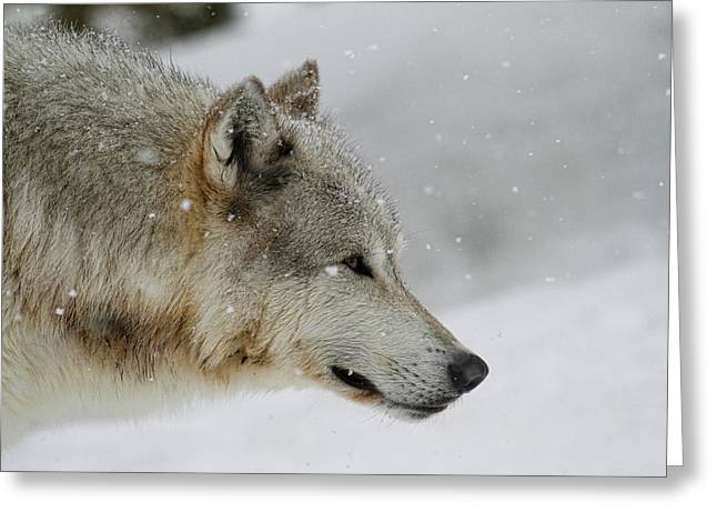 Preditor Greeting Cards - Winter Grey Greeting Card by Steve McKinzie