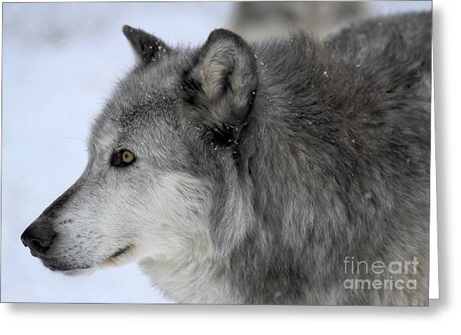 Alpha Wolf Greeting Cards - Winter Intensity Greeting Card by Adam Jewell