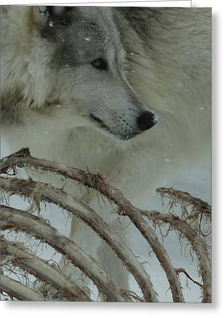 Preditor Greeting Cards - Winter Kill Greeting Card by Steve McKinzie