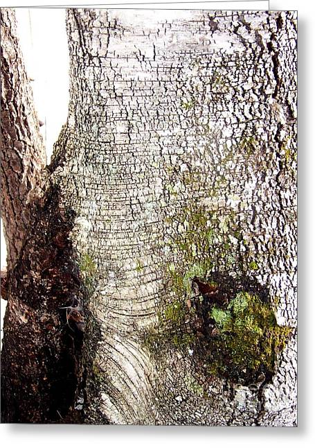 Beauty Mark Greeting Cards - Birch Tree Canvas Print Greeting Card by Eunice Miller