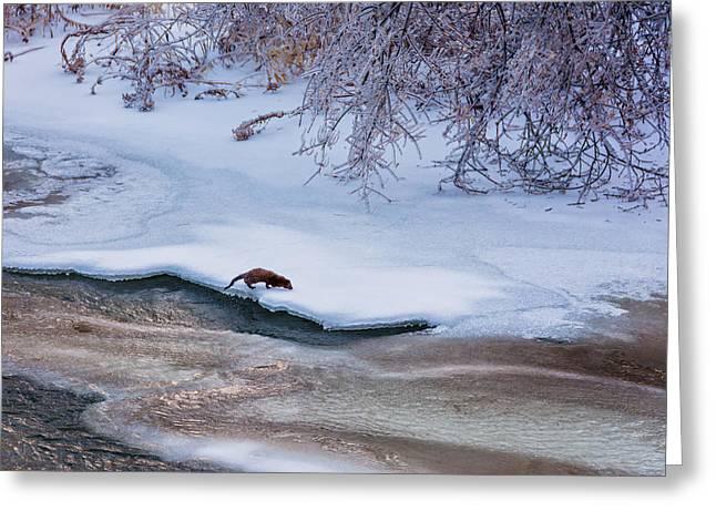 Storm Prints Greeting Cards - Winter Mink Greeting Card by Steve Harrington