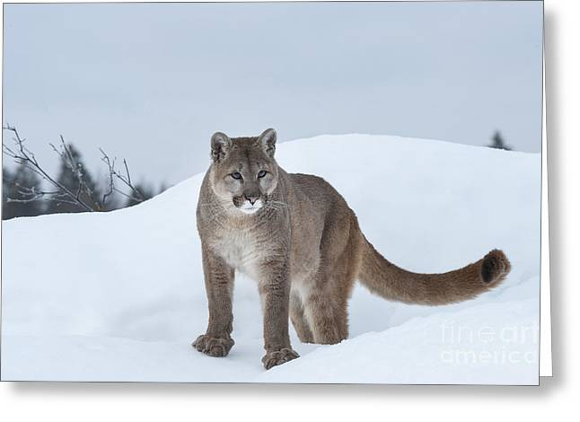 Puma Concolor Greeting Cards - Winter Mountain Lion  Greeting Card by Sandra Bronstein