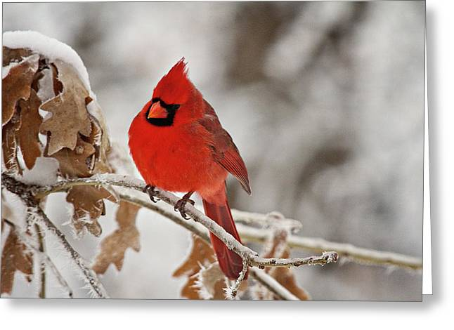 Winter Northern Cardinal Greeting Card by Lana Trussell