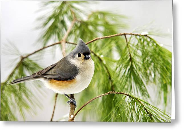 Bird In Tree Greeting Cards - Winter Pine Bird Greeting Card by Christina Rollo
