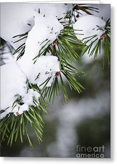 Snowy. Covered Greeting Cards - Winter pine branches Greeting Card by Elena Elisseeva