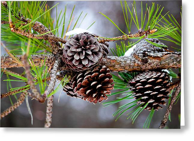 Jahred Allen Photography Greeting Cards - Winter Pine Cones Greeting Card by Jahred Allen