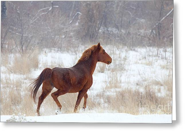 Wild Horse Greeting Cards - Winter Proud Greeting Card by Mike  Dawson