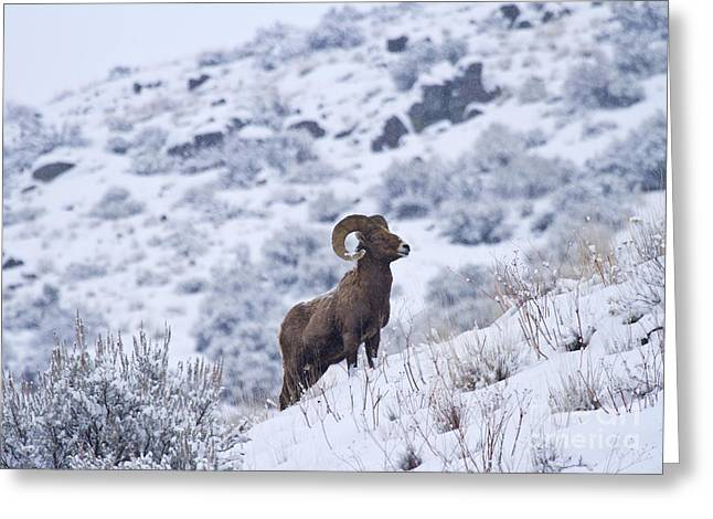 Bighorn Greeting Cards - Winter Ram Greeting Card by Mike  Dawson