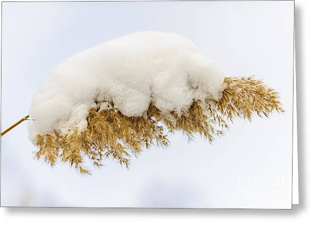 Golden Marsh Greeting Cards - Winter reed under snow Greeting Card by Elena Elisseeva