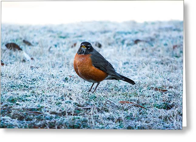 American Robin Greeting Cards - Winter Robin Greeting Card by Shelby  Young