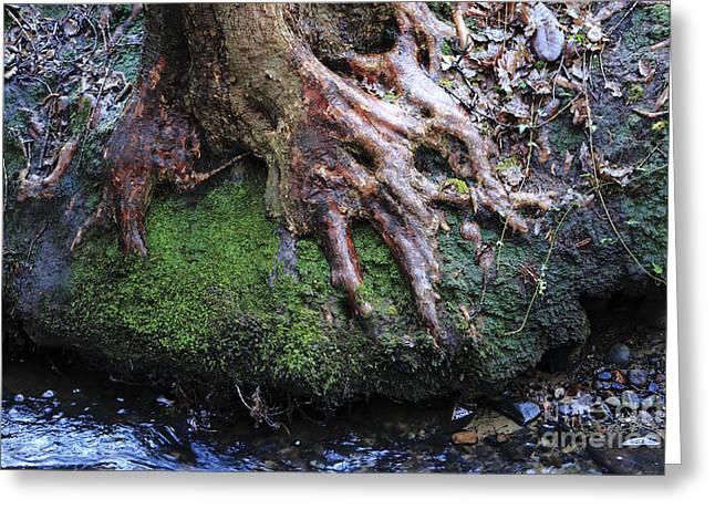Tree Roots Greeting Cards - Winter roots Greeting Card by Paul Cowan