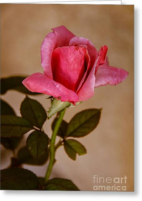 Bale Greeting Cards - Winter Rose Bud Greeting Card by Robert Bales