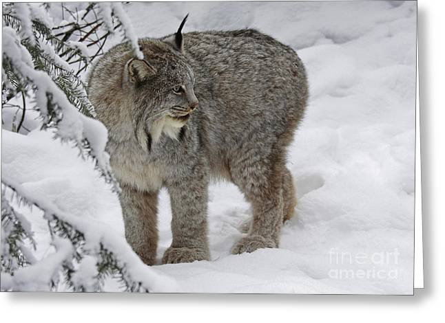 Winter Splendor- Canadian Lynx Greeting Card by Inspired Nature Photography Fine Art Photography
