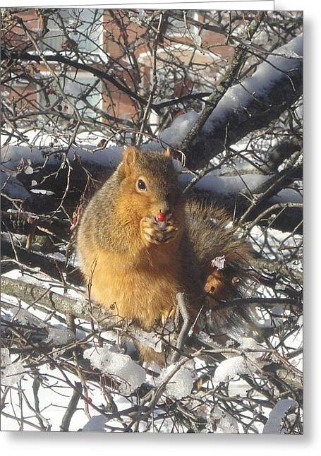 Guy Ricketts Photography Greeting Cards - Winter Squirrel Eats a Berry Frosted Greeting Card by Guy Ricketts