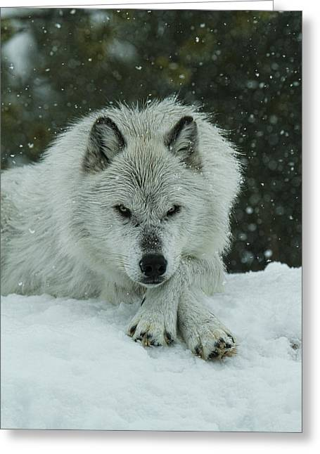 Preditor Greeting Cards - Winter Stare Greeting Card by Steve McKinzie