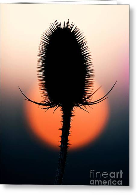 Seedhead Greeting Cards - Winter Teasel Greeting Card by Tim Gainey