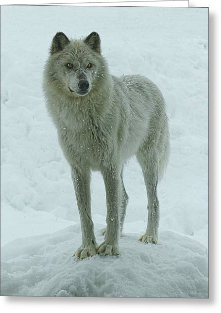 Preditor Greeting Cards - Cold Stare Greeting Card by Steve McKinzie