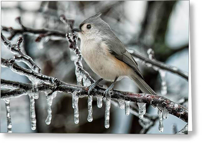 Tufted Titmouse Greeting Cards - Winter Titmouse Greeting Card by Lara Ellis