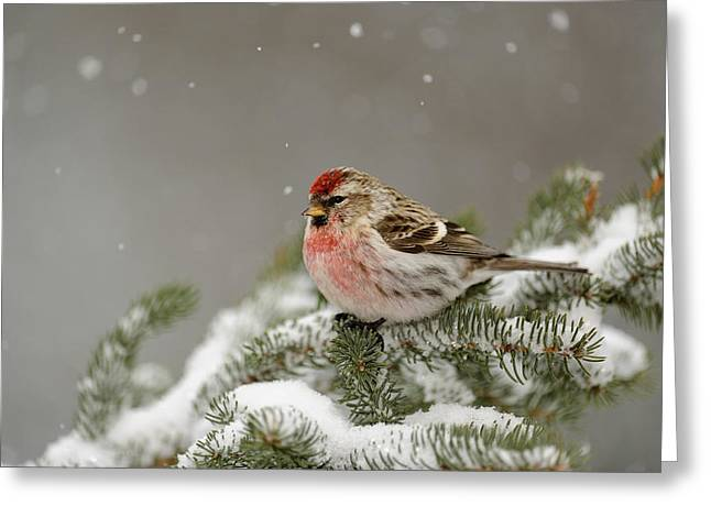 Winter Migrants Greeting Cards - Winter visitor Greeting Card by Don Johnston