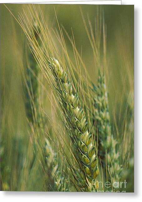 Winter Wheat Greeting Cards - Winter Wheat Triticum Aestivum Greeting Card by Ron Sanford