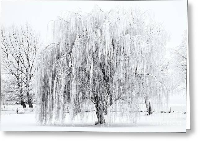 Weeping Photographs Greeting Cards - Winter Willow Greeting Card by Mike  Dawson