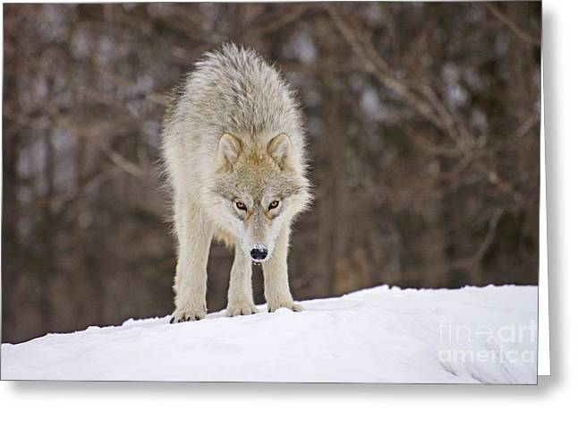 Staring Into Camera Greeting Cards - Winter Wolf Greeting Card by Joshua McCullough