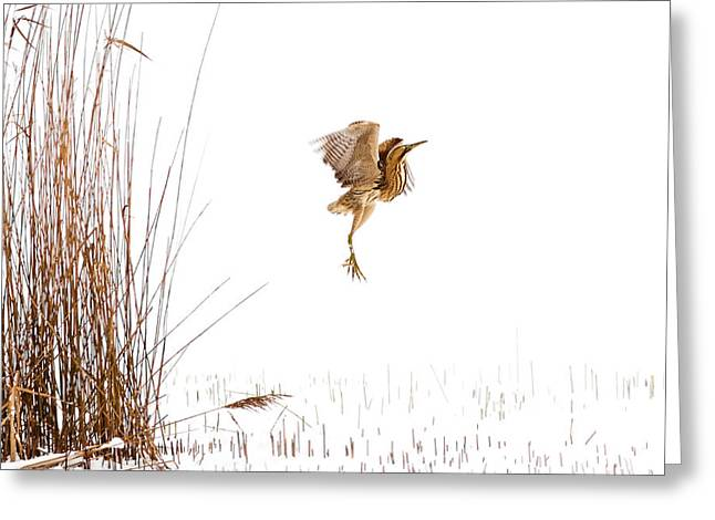 Bird In Flight Greeting Cards - Winter Wonder Dance - Eursian Bittern in the snow Greeting Card by Roeselien Raimond