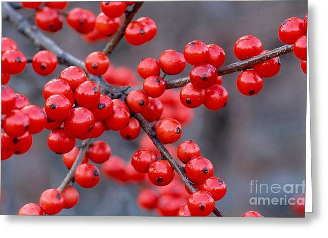 Black Berries Greeting Cards - Winterberry Berries Greeting Card by Larry West