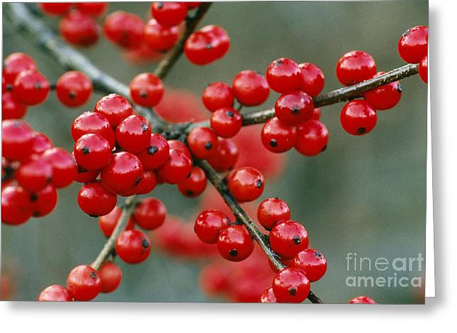 Black Berries Greeting Cards - Winterberry Holly Greeting Card by Larry West