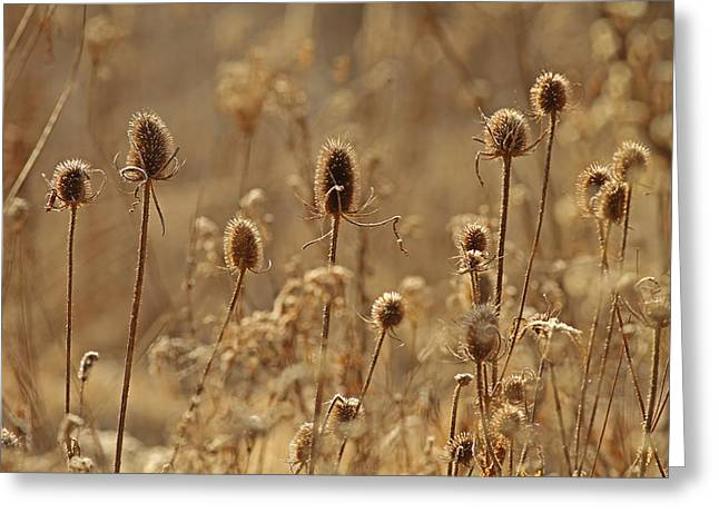 Jim Nelson Greeting Cards - Wintered Teasels Greeting Card by Jim Nelson