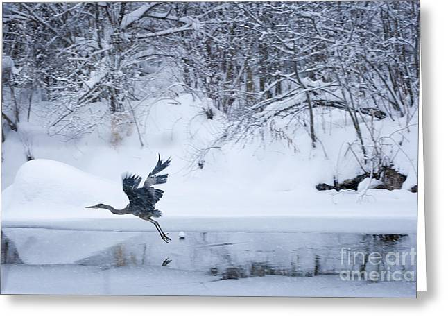 Recently Sold -  - Pond In Park Greeting Cards - Wintering Heron In Flight Greeting Card by Roger Bailey