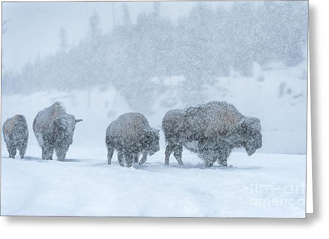American Bison Greeting Cards - Winters Burden Greeting Card by Sandra Bronstein