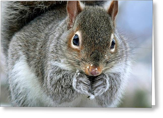 Gray Squirrel Greeting Cards - Winters Chill Squirrel Greeting Card by Christina Rollo