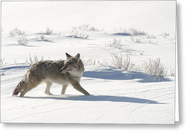 North American Wildlife Photographs Greeting Cards - Winters Hunt Greeting Card by Sandra Bronstein