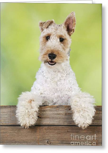 Crooked Fence Greeting Cards - Wire Fox Terrier Greeting Card by John Daniels