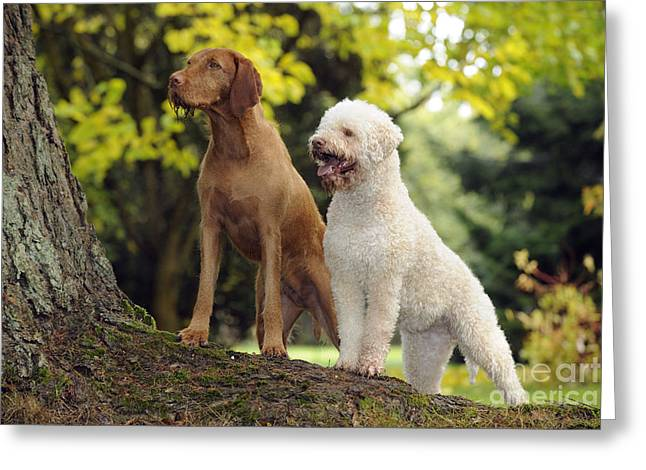 Tree Roots Greeting Cards - Wire-haired Vizsla And Lagotto Romagnolo Greeting Card by John Daniels