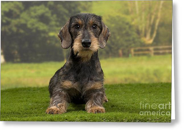 Canid Greeting Cards - Wirehaired Dachshund Greeting Card by Jean-Michel Labat