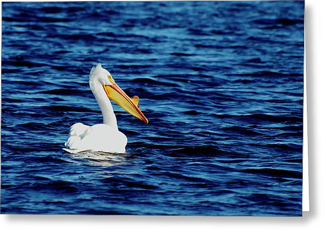 Menasha Greeting Cards - Wisconsin Pelican Greeting Card by Thomas Young