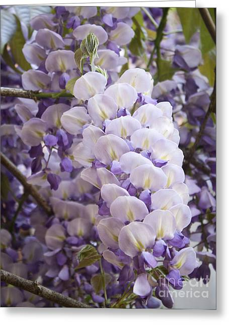 Woody Vine Greeting Cards - Wisteria Blooms Greeting Card by Teresa Mucha