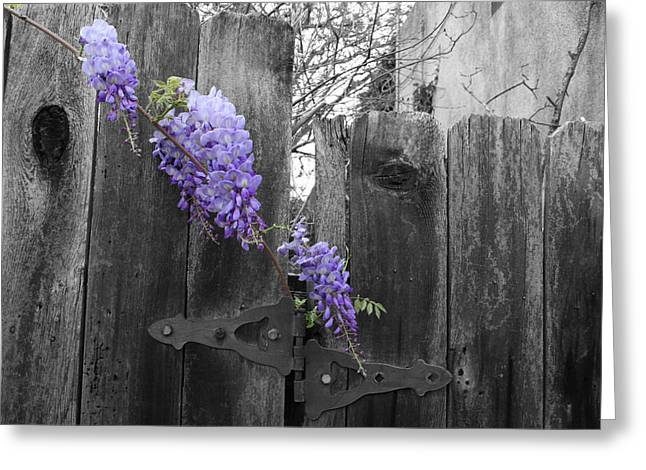 Selective Coloring Greeting Cards - Wisteria Greeting Card by Dylan Punke