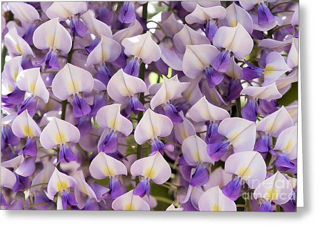 Color Green Greeting Cards - Wisteria Floribunda Domino Greeting Card by Tim Gainey