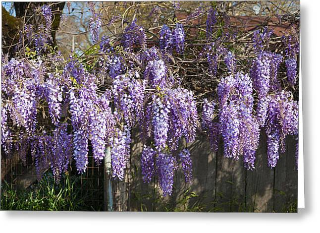 Flowers In California Greeting Cards - Wisteria Flowers In Bloom, Sonoma Greeting Card by Panoramic Images