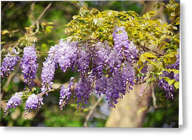Wisteria Leaves Greeting Cards - Wisteria Garden 12 Greeting Card by Jenny Rainbow