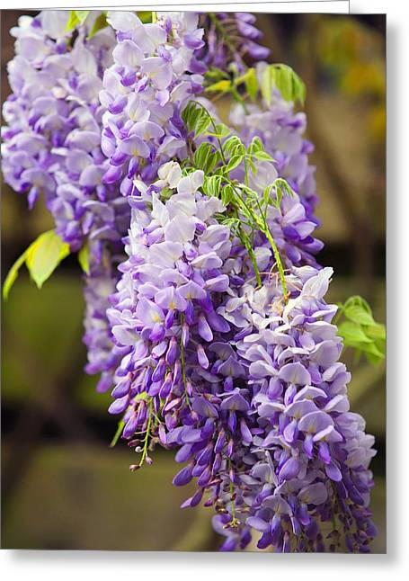 Wisteria Leaves Greeting Cards - Wisteria Garden  Greeting Card by Jenny Rainbow