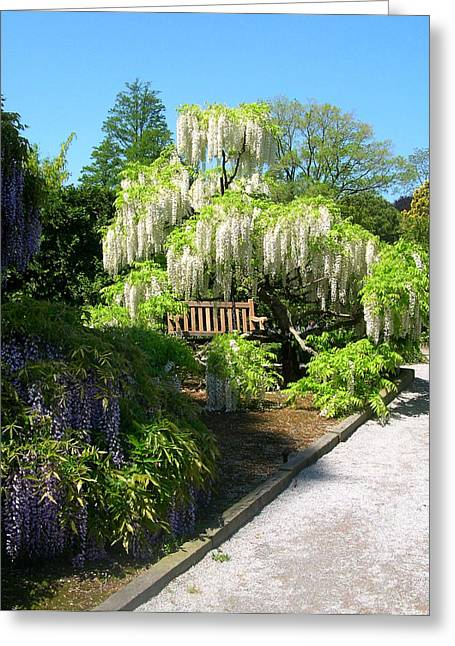 Wisteria In Bloom Greeting Cards - Wisteria Garden Greeting Card by Susan Maxwell Schmidt